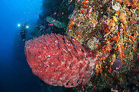 A diver inspects a healthy reef wall..Shot in Indonesia..