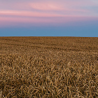 This is the quintessential Saskatchewan summer evening.  Endless fields of golden wheat blowing in the wind, capped with a stunningly colorful sunset.