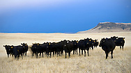 Angus Cattle moving in low, dramatic light