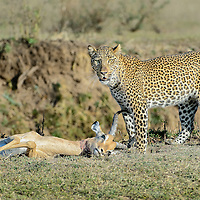 Male leopard with impalla kill