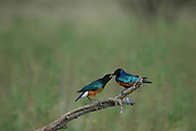 Kenya, Masai Mara, Superb Starling (Lamprotornis superbus) Mother feeding a young fledgling
