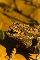 Namaqua Chameleon (the fastest chameleon in the world) eating a bug, Swakopmund Dunes, Swakopmund, Namib Desert, Namibia