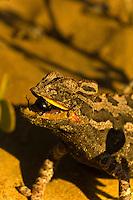 Namaqua Chameleon (the fastest chameleon in the world) eating a bug, Swakopmund Dunes, Swakopmund, Namib Desert, Namibia