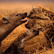 Spotted Hyaena (Crocuta crocuta)     -    Ngorongoro Crater - Tanzania <br /> <br /> This rare scene highlights a tender moment between a Hyaena mother and her pups.