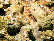 An inconspicuous pair of frogfish(Antennarius Commerson) pose together for the camera near Maui, Hawaii, USA.