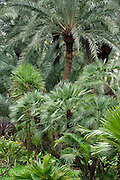 Date palm trees in El Huerto del Cura Botanic Garden. Elche, Alicante, Costa Blanca, Spain, Europe.