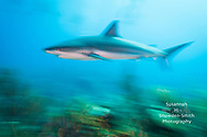 Grand Cayman - A Caribbean reef shark speeds across a coral reef at Jack McKenney's dive site.