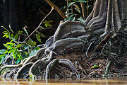 Large buttress root of a mangrove tree at Kinabatangan River, Sabah, Borneo.