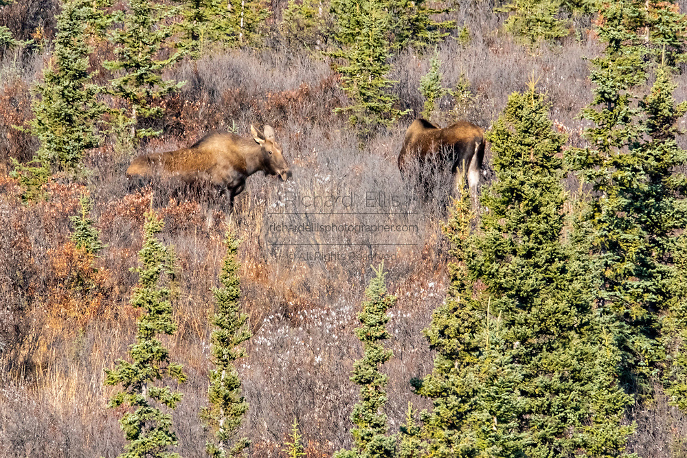 Two female Alaskan moose forage on a slope during autumn in Denali National Park, McKinley Park, Alaska.