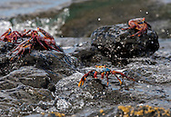 Sally Lightfoot Crabs, Galapagos