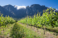 Vineyards in the Franschhoek Valley, South Africa.