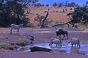 African wildlife, Zebra and Wildebeest at waterhole in Tsavo National Park, Kenya shows natural grassland environment