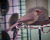 Northern Cardinal. Image taken with a Nikon D5 camera and 600 mm f/4 mm VR lens (ISO 1600, 600 mm, f/5.6, 1/640 sec)