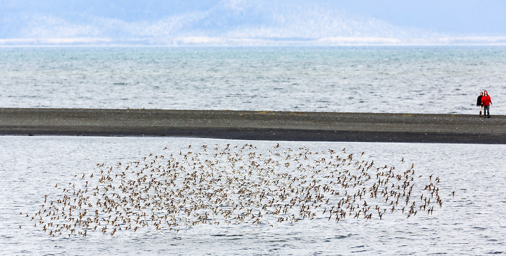Western Sandpipers (Calidris mauri) and Dunlins (Calidris alpina) forgaging in Mud Bay along the Homer Spit in Southcentral Alaska during their spring migration to the arctic. Afternoon.