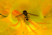 full colour, horizontal image of hoverfly resting on yellow flower