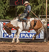 Saddle Bronc rider Jess Williams from Paso Robles, California scores 71.0 at the 62nd annual Mother Lode Round-up on Sunday, May 12, 2019 in Sonora, California.  Photo by Al Golub