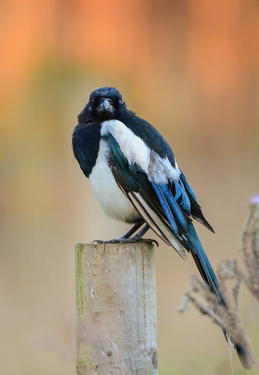 A Magpie sitting on a post