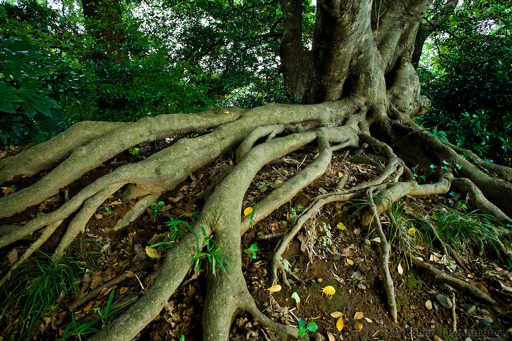Exposed tree roots in the East Garden, Imperial Gardens, Tokyo, Japan.