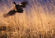 A columbia sharp-tailed grouse (Tympanuchus phasianellus columbianus) flushing from the grassland. These birds are being re-introduced to the NE corner of Oregon by the Oregon Department of Fish and Wildlife after a 40 year absence from the state. Private farm land, near Zumwalt Prairie, Oregon.