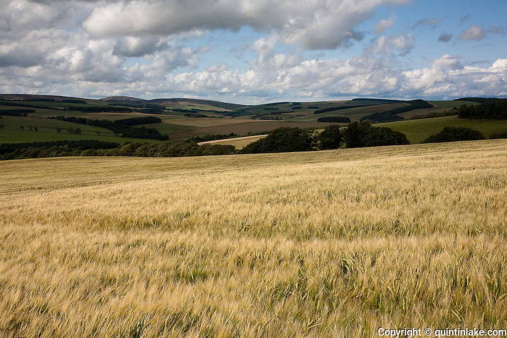 Field of Barley near Longformacus, Scottish Borders, Scotland