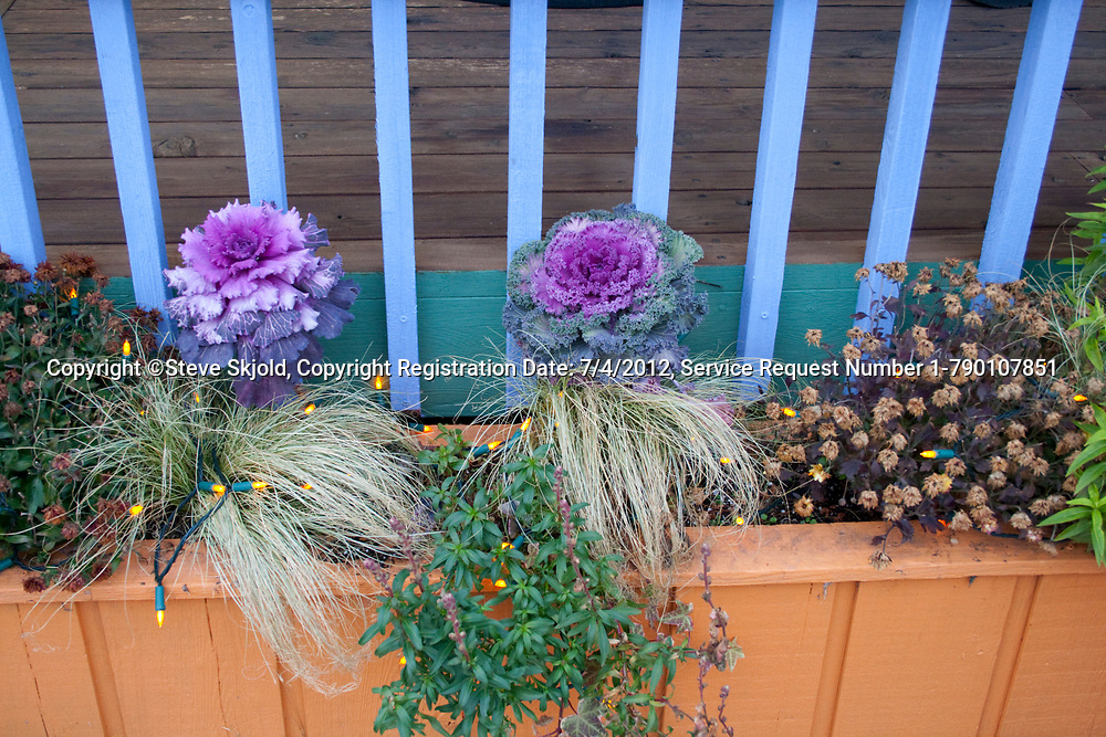 Ornamental flowering cabbage plants at the Redbery bookstore and boutique. Cable Wisconsin WI USA