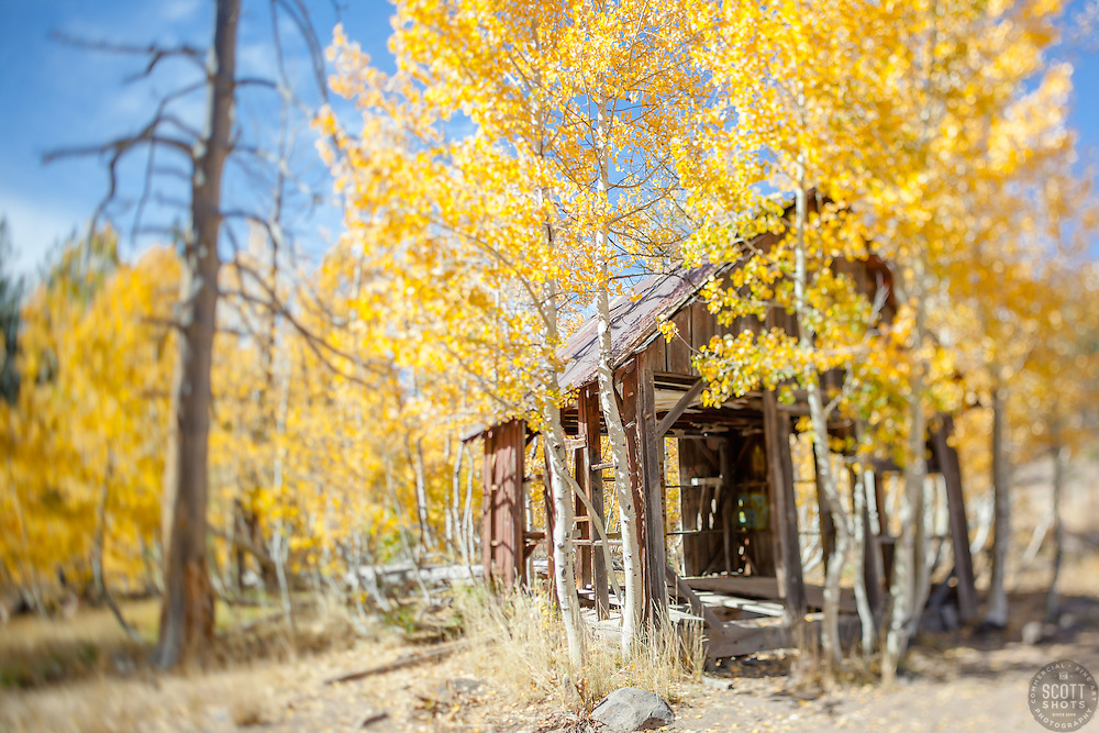 """Shack in the Aspens 7"" - This old shack and yellow aspen trees were photographed in the Fall near Brockway Summit in Tahoe. A tilt-shift lens was used to create the focus effect."