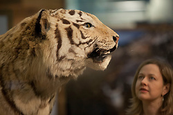 © Licensed to London News Pictures. 05/02/2013. London, UK. A member of Natural History Museum staff views a preserved tiger, an endangered species, at the press view for 'Extinction: Not the End of the World' in the Natural History Museum in London today (05/02/13). The exhibition, open to the public on the 8th of February 2013, brings together more than 80 museum specimens to guide visitors on a journey through the death and destruction of species, demonstrating the crucial role that extinction plays in the evolution of life. Photo credit: Matt Cetti-Roberts/LNP