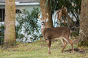 A deer roams freely in a residential garden on Fripp Island, SC.