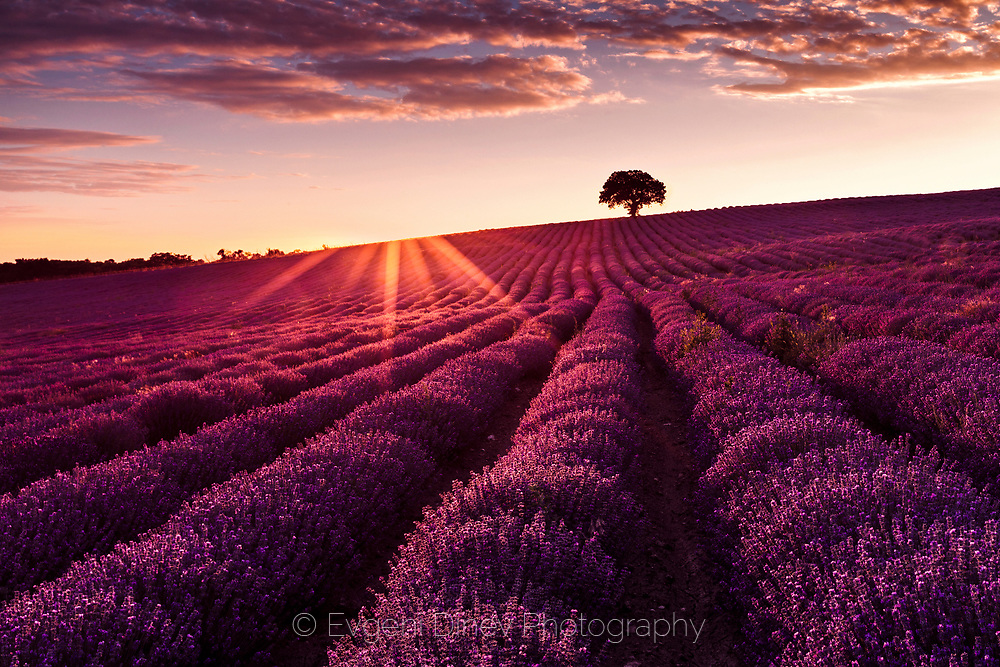 Violet lavender furrows ending by a tree