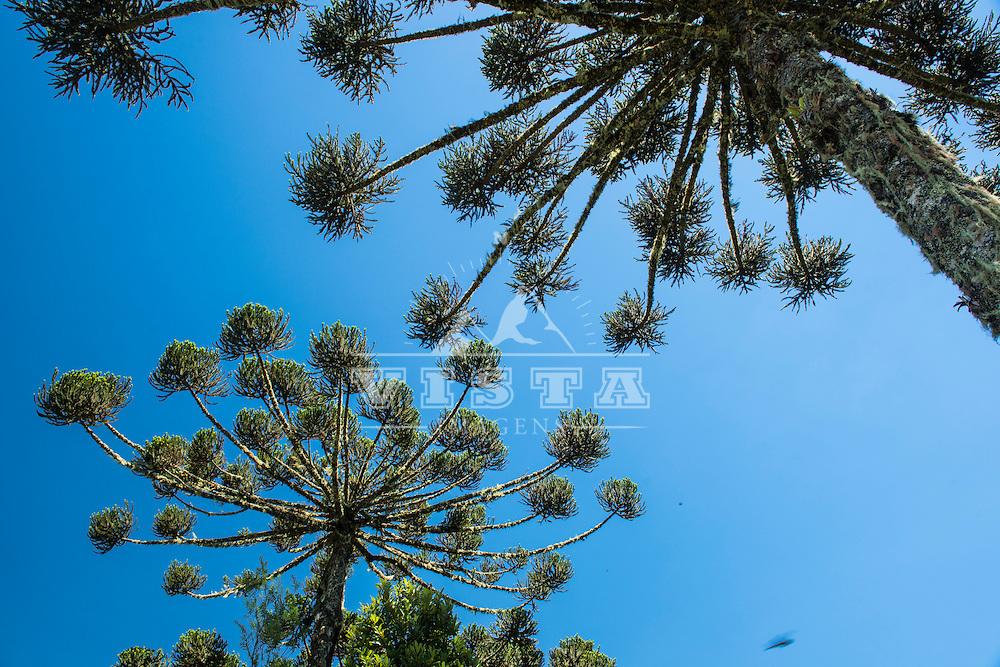 Pinheiro brasileiro ( araucaria angustifolia) no Canion Itaimbezinho, Parque Nacional de Aparados da Serra, Cambará do Sul, Rio Grande do Sul, foto de Zé Paiva - Vista Imagens
