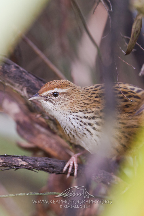 Fernbird, endemic, New Zealand