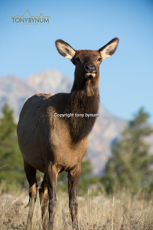 cow elk with blue sky background