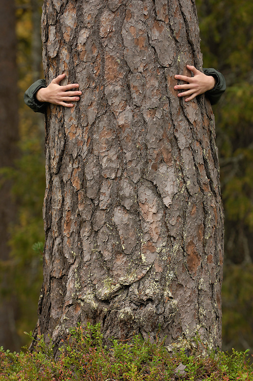 A person hugging a Scots Pine tree, Pinus silvestris, old-growth forest, Lapland, Sweden.