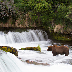 A brown bear waits for the salmon run to arrive at Brooks Falls in Katmai National Park.