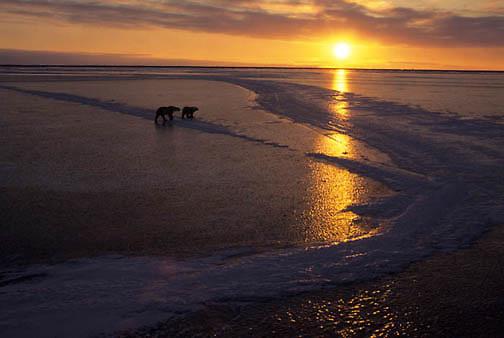 Polar Bear, (Ursus maritimus) On frozen ice of Churchill, Manitoba. Canada. Evening.