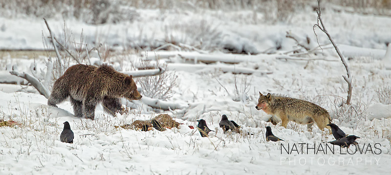 Wolf And Grizzly Bear Encounter; Yellowstone NP.