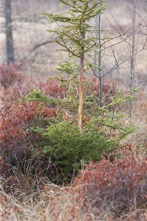 Buck rub on a spruce sapling in a spruce bog