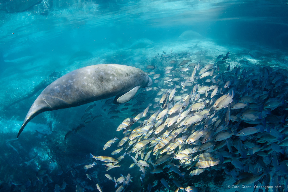 A manatee swims over the warm Big Sister spring at Three Sisters Springs. Mangrove snapper (Lutjanus griseus) also seek warmth and minerals from Florida's underwater aquifer bubbling up. Natural sunlight highlights the scene. The round marks on the manatee's back are from barnacles shed earlier in the season. The big spring is rimmed with manatees, resting and socializing. Florida manatees come to Three Sisters Springs during the cooler months to rest and stay warm. Taken in the Crystal River National Wildlife Refuge, Kings Bay, Crystal River, Citrus County, Florida USA. Florida manatee, Trichechus manatus latirostris, a subspecies of the West Indian manatee