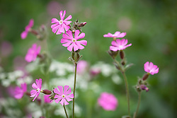 Red Campion. Silene dioica