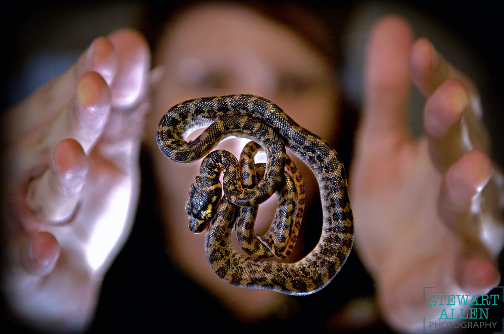 18/01/2008 NEWS: NEWS One of eight rare baby Rough-scaled Pythons (born between January 10-12) at Perth zoo. Senior Nocturnal Housekeeper Vanessa Richter in background