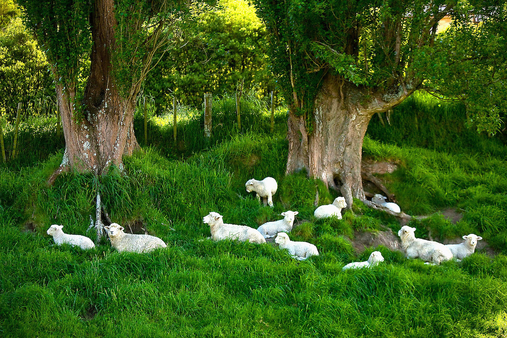 Sheep, North Island, New Zealand