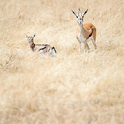 A young Thomson's gazelle and its mother in the grass at Ngorongoro Crater in the Ngorongoro Conservation Area, part of Tanzania's northern circuit of national parks and nature preserves.