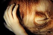 Head and Hands of an Katta fetus,  Lemur catta, gestation period 135 days Hubrecht collection, Berlin Museum of Natural History..Kopf und Haende eines Kattafoetus, Lemur catta, Tragzeit 135 Tage, Hubrecht Sammlung, Museum fuer Naturkunde Berlin