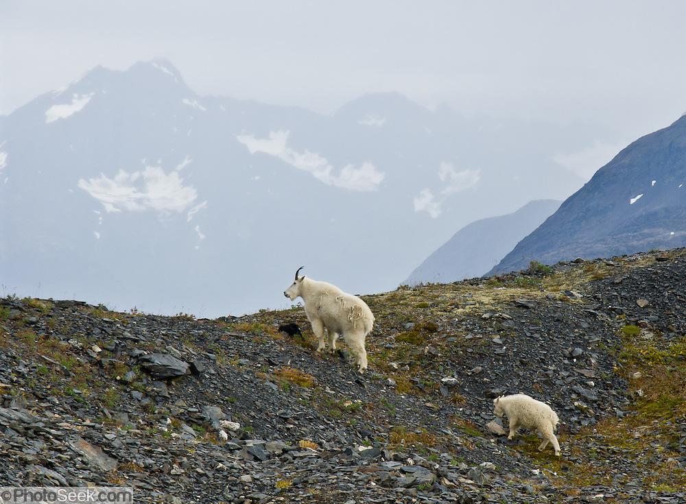 Mountain goat Kenai Fjords National Park Alaska USA portfolio