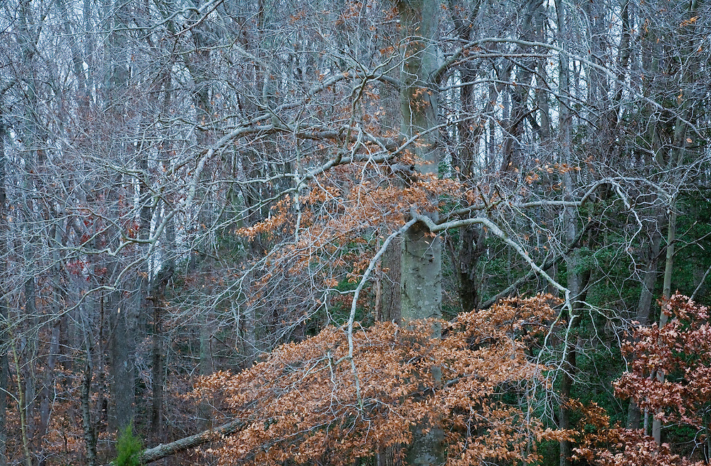 A view looking into a deciduous hardwood forest in Winter, Southern Maryland