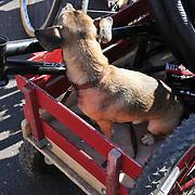 Doggie wagon at 2013 Fall Bicycle Swap Meet, Tucson, Arizona. Bike-tography by Martha Retallick.
