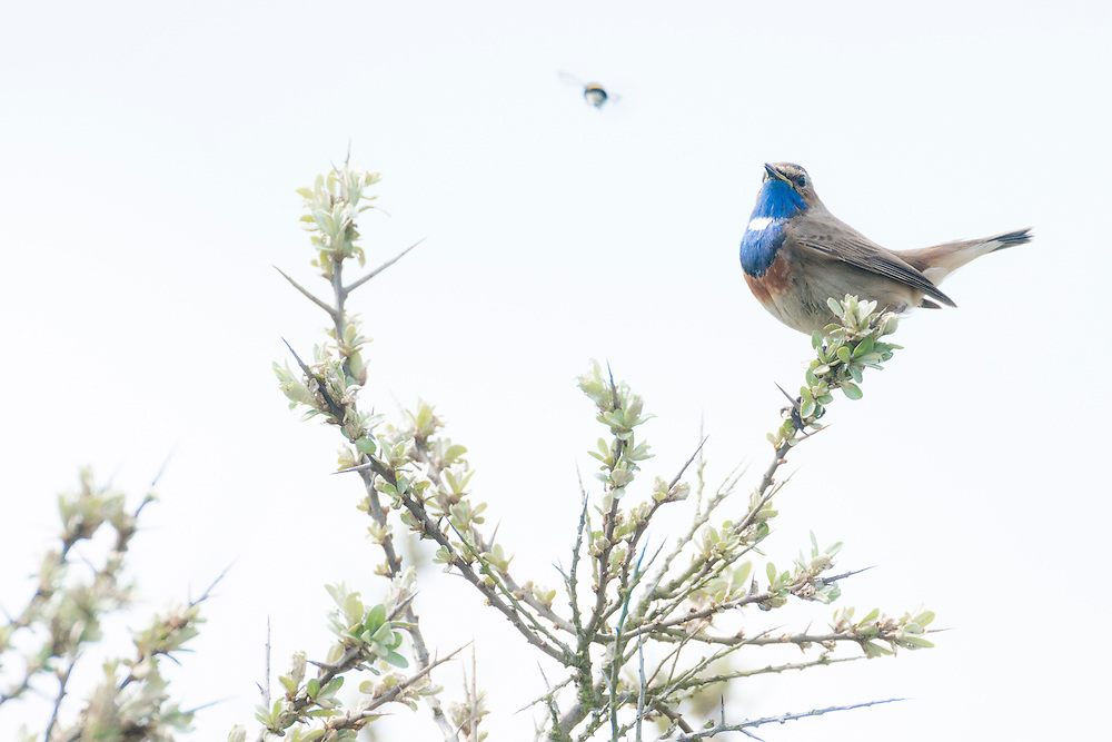 Male bluethroat in full song, Texel, the Netherlands