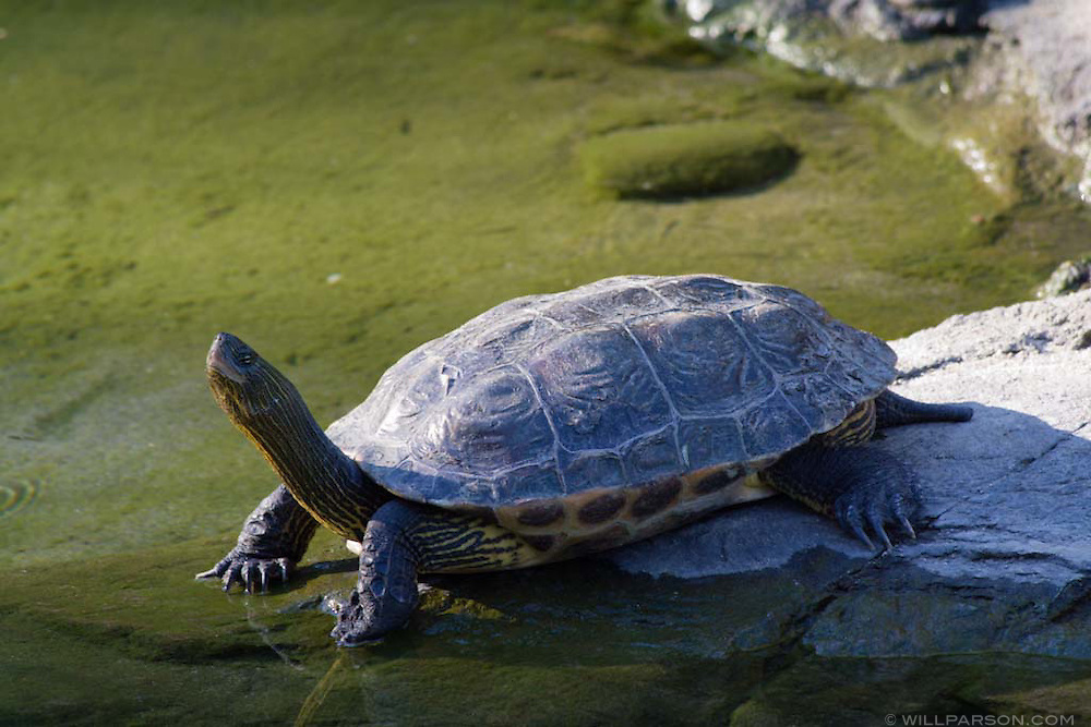 A turtle at water's edge at the San Diego Zoo