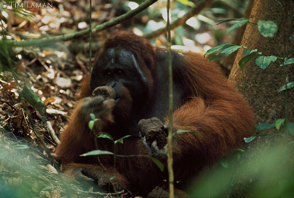 An orangutan (Pongo pygmaeus) named Jari Manis sucks termites from chunks of termite nest he has broken off.