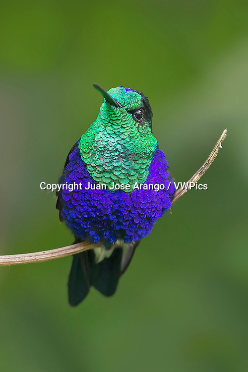 Green-crowned Woodnymph (Thalurania colombica fannyi), Valle del Cauca
